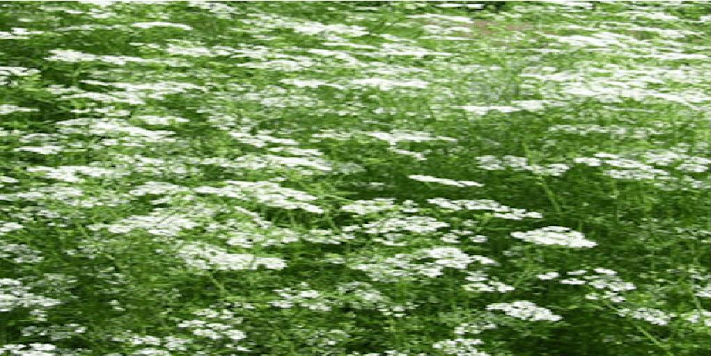 Az ánizs termesztése