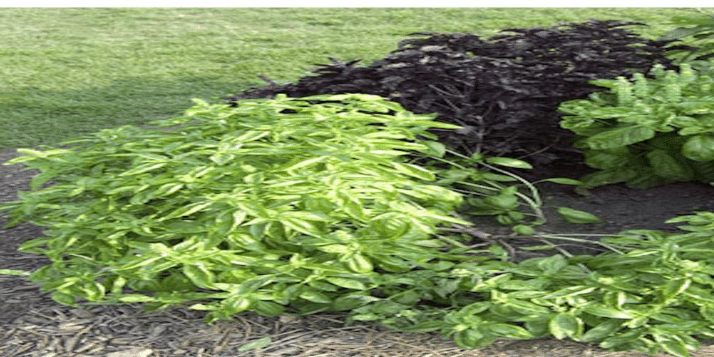 Bazsalikom termesztése