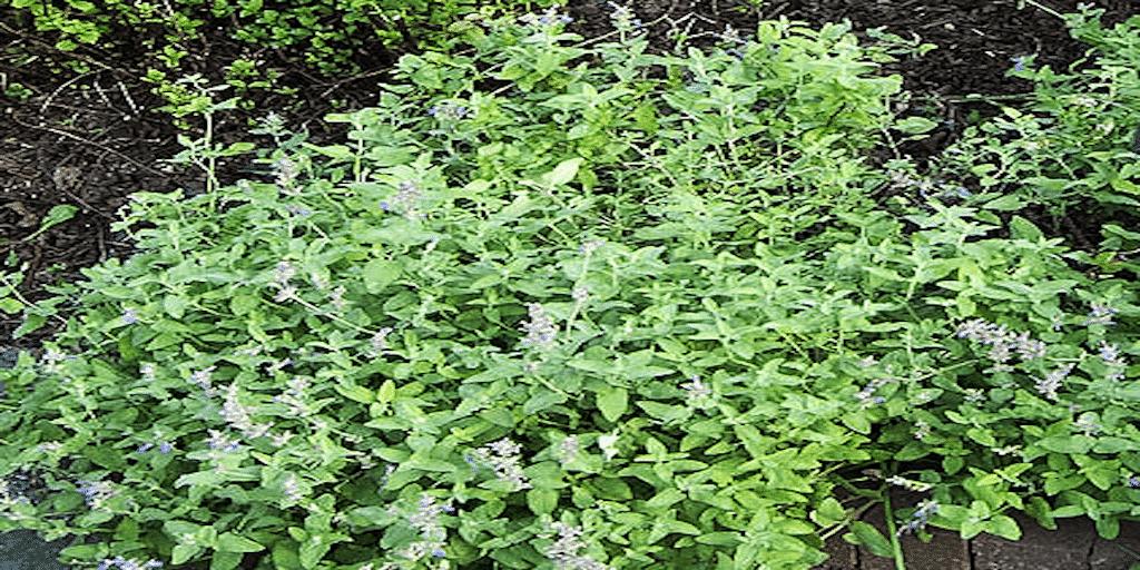 Macskamenta termesztése. Az illatos macskamenta növény termesztése közben