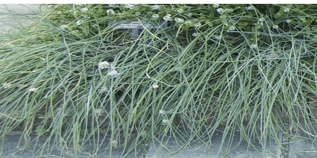 Metélőhagyma gondozása és ültetése