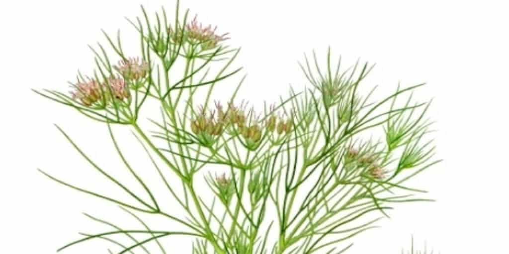 Gyógynövény kömény termesztése