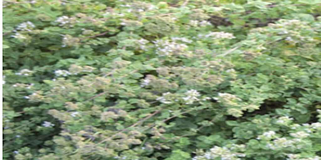 Majoranna termesztése