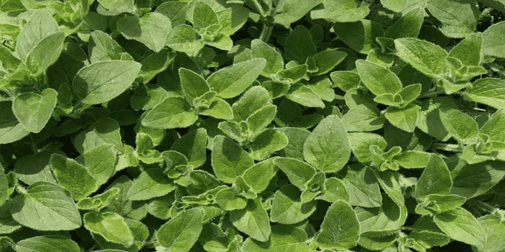 Átfogó információkat nyújt a gyógynövény szurokfű, azaz oregánó termesztése és gyakori kérdések és még sok más hasznos információk..