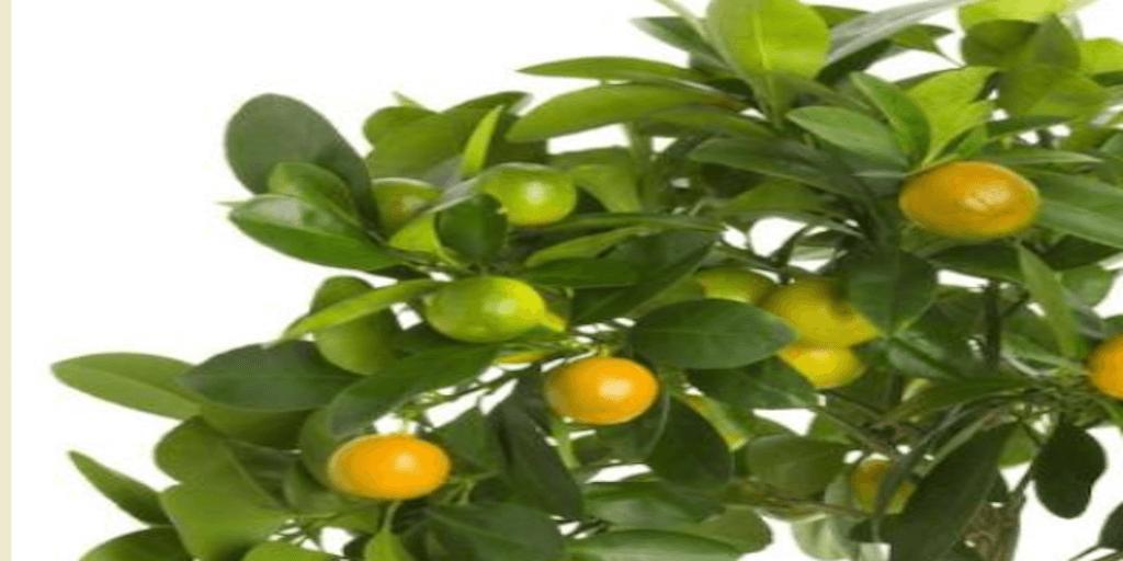 Olvassa el a citromfa ültetése termesztése nevelése kiskertben