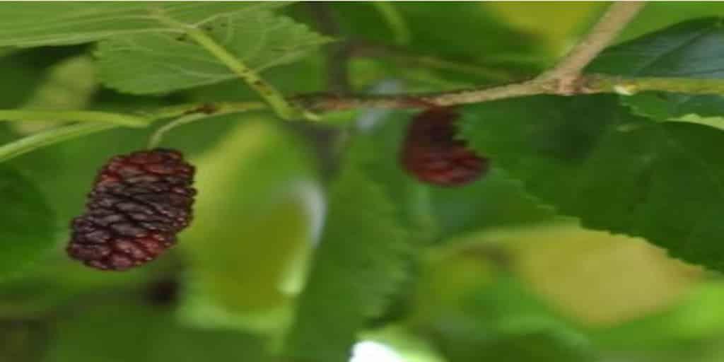 Eperfa csemete fák ültetése metszése