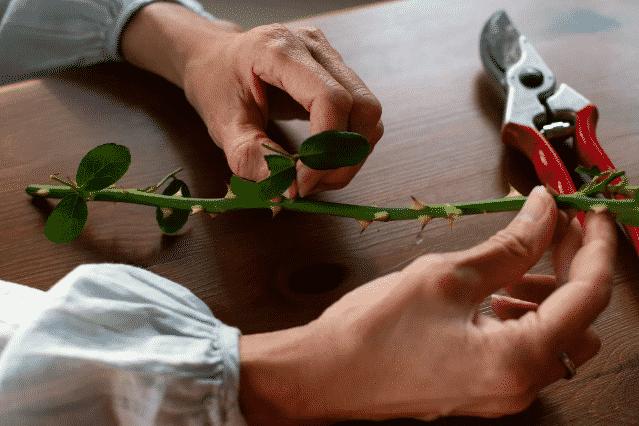 Levelek eltávolítása a rózsa szárából. Rózsa képek. Cserepes rózsa szaporítása