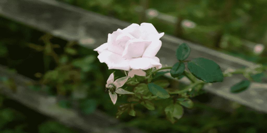 Cserepes rózsa szaporítása dugványokból