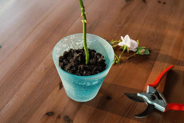 Cserepes rózsa szaporítása - Ültessük el a rózsa darabot