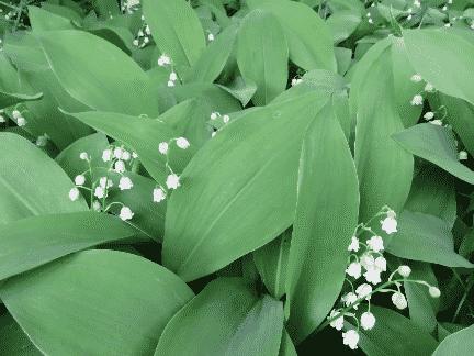 Fák alatt virágzó növények - Gyöngyvirág