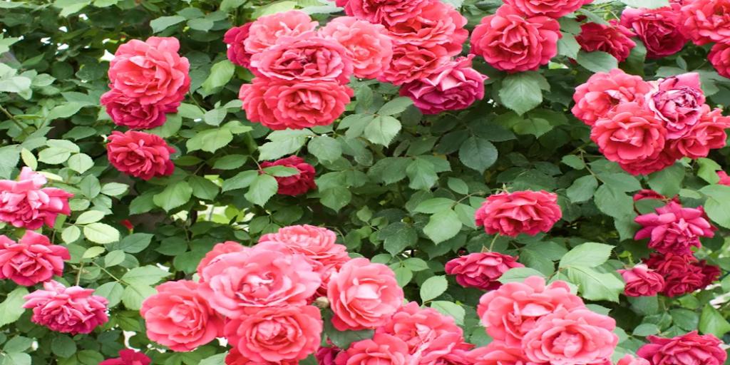 A rózsa gondozása kihívást jelentő vállalkozás hírneve, ám a rózsa növekszik és virágzik, még akkor is, ha a kertészek őket teljesen elhanyagolják. Mindazonáltal részesülnek némi extra figyelmet. Bármely erőfeszítés, amelyet a rózsa kora tavasszal való ápolásában tesz, azt jelentheti, hogy kevesebb problémája lesz a növekedési időszak során. Rózsa képek.