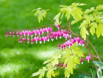 Fák alatt virágzó növények - Vérző szív