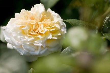 A kerti angol rózsa az ellenszere annak a szagtalan, szorosan kötött rózsa virágnak, amelyet a szupermarket virágállványon látunk.