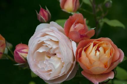 Lady Emma Hamilton angol rózsa