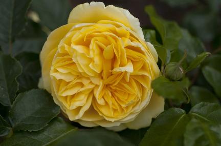 Boldog gyermek angol rózsa