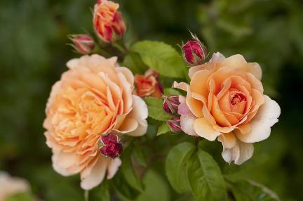 Margareta angol rózsahercegnő