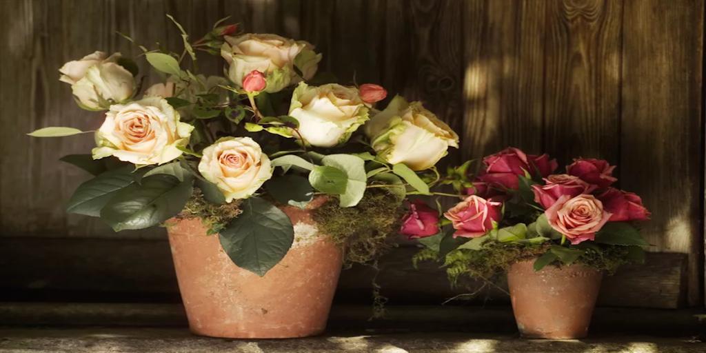 Cserepes rózsa gondozása cserépben - Rózsa képek