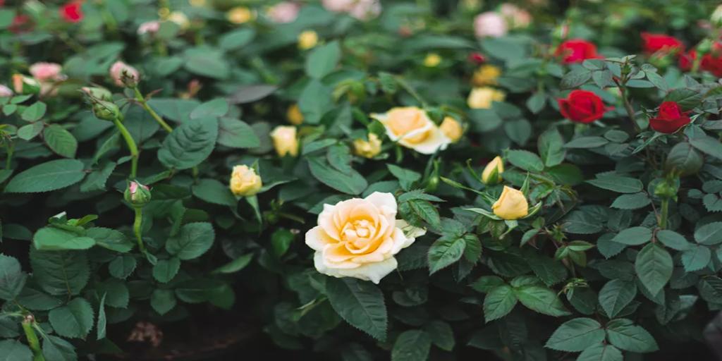 Mini rózsa metszése és gondozása és betegségei