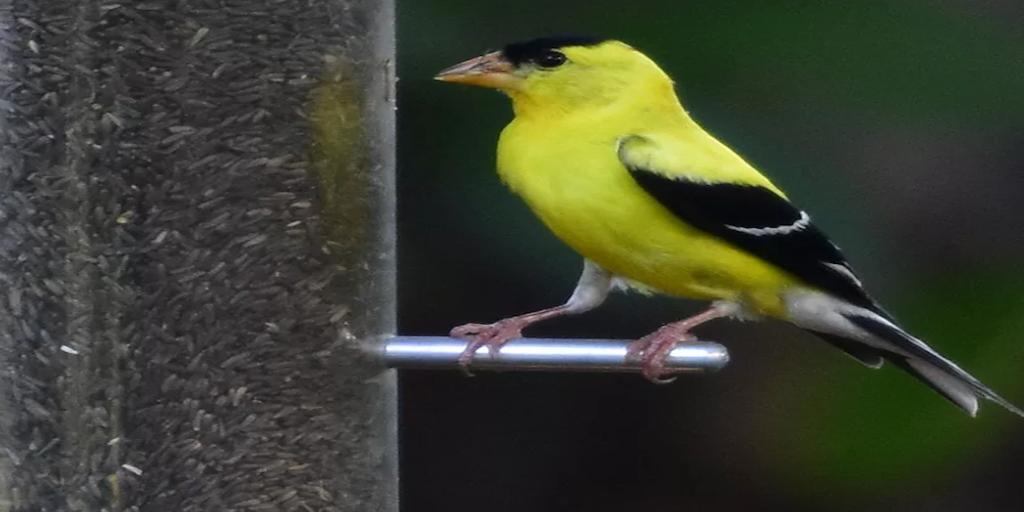 Négermag? Hogyan adjuk a ház körüli madaraknak?