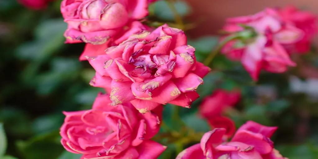 Gyakori rózsa betegségek