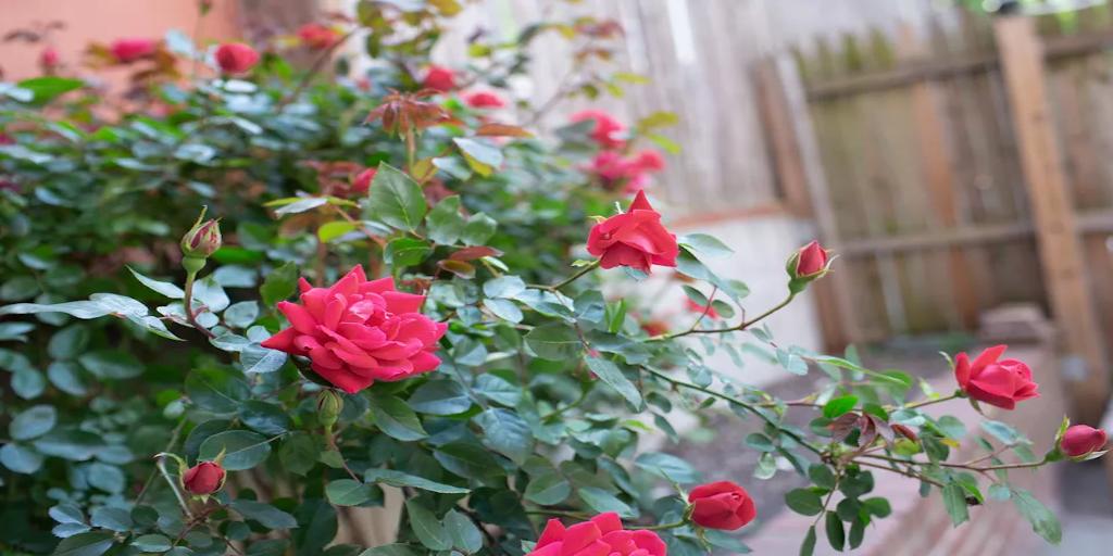 Rózsa fajták a kertjében