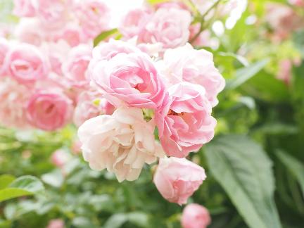 Rózsa fajták - A Bonica egy cserje rózsa, amely világos rózsaszínű virágot visel egy tipikus bozontos növekedési szokással rendelkező növényen. Tavasztól őszig többször virágzik, illatos virágzásuk 2-3 hüvelyk. Ez nagyon megbízható növény hűvösebb éghajlaton.