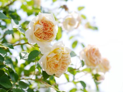 """A """"Teasing Georgia"""" David Austin cserje rózsa, amelyet sárgaként reklámoznak, de a sárgabarack színű lehet. Ez egy ismétlődő bloomer, kis fürtökkel, nagy, tölcséres virágokkal, 4-5 hüvelyk átmérőjűek. Jó a betegségekkel szemben ellenálló képessége és erős illata."""
