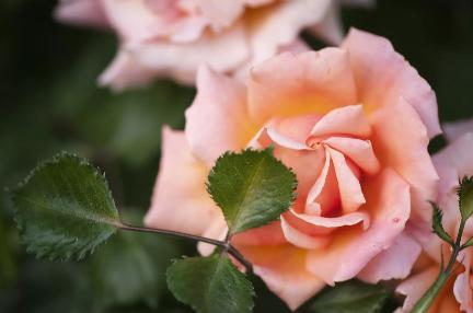 Ez a közepes méretű floribunda rózsa nagy, 4–5 hüvelykes virágzással rendelkezik, amelyek ötvözik a narancs, a rózsaszín és a sárgabarack árnyalatát. A virágok kettős, fodros szirmok és enyhén gyümölcsös aromájuk. Ennek a növénynek bokros növekedési szokása van, és meglehetősen betegségekkel szemben ellenálló.