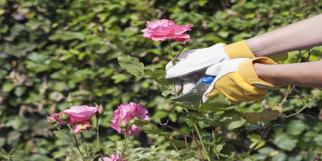 Rózsa metszés alapjai - Rózsa képek