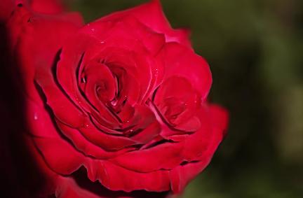 Tearózsa - Piros: Veteránok tisztelete