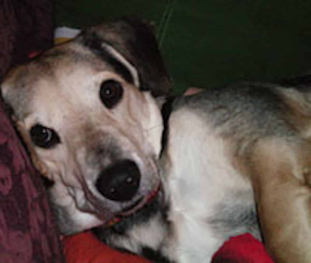 Parvovírus kutyánál-Diagnózis és kezelés