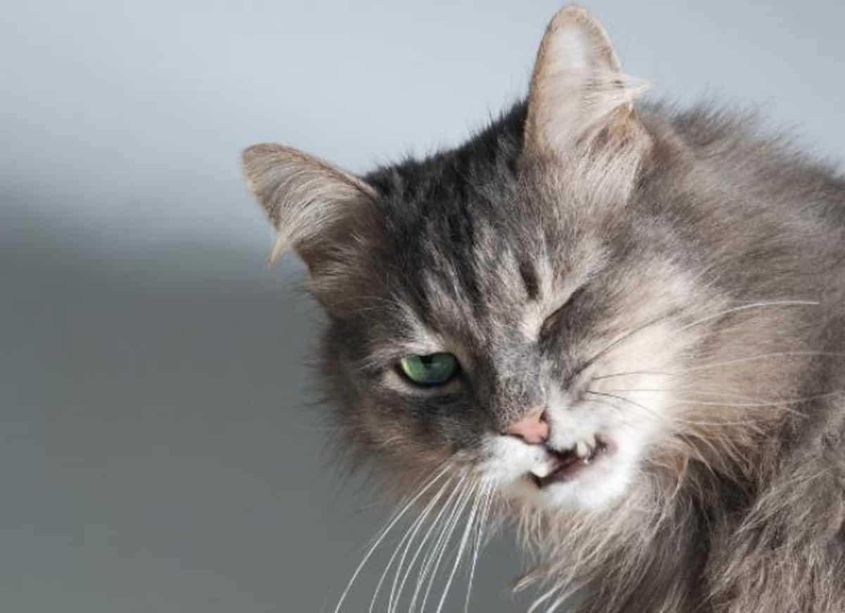 ARDS Akut légzési distressz szindróma macskáknál