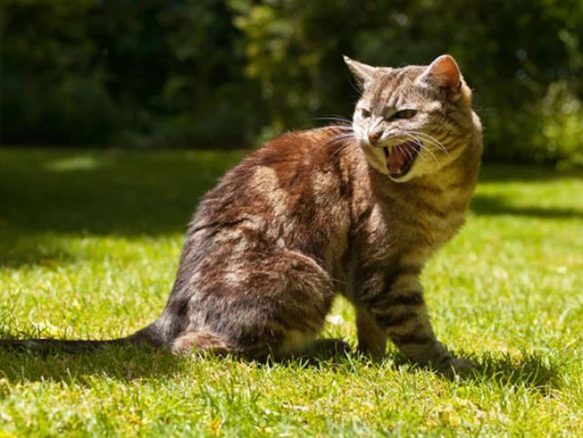 Agresszió és agresszió okai macskákban