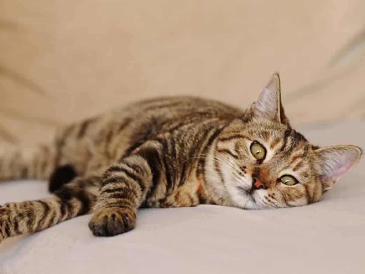 Gastroesophageal reflux macskákban