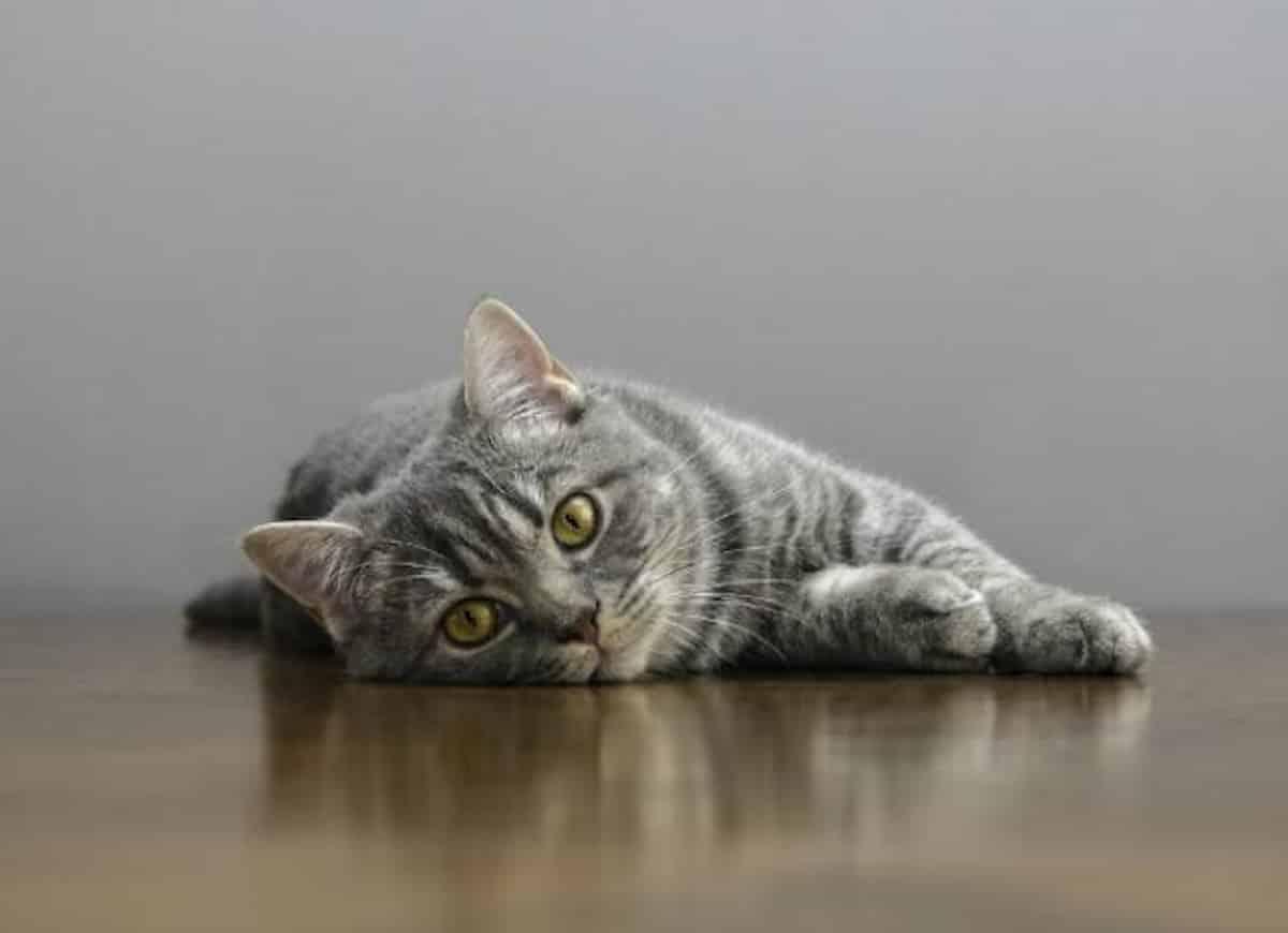 Az állapot azonban hevessé válik, amikor a hányás nem szűnik meg, és amikor a macska gyomrában az epe kivételével nincs mit dobni. Fontos, hogy ilyen esetekben háziállatát állatorvoshoz vigye.