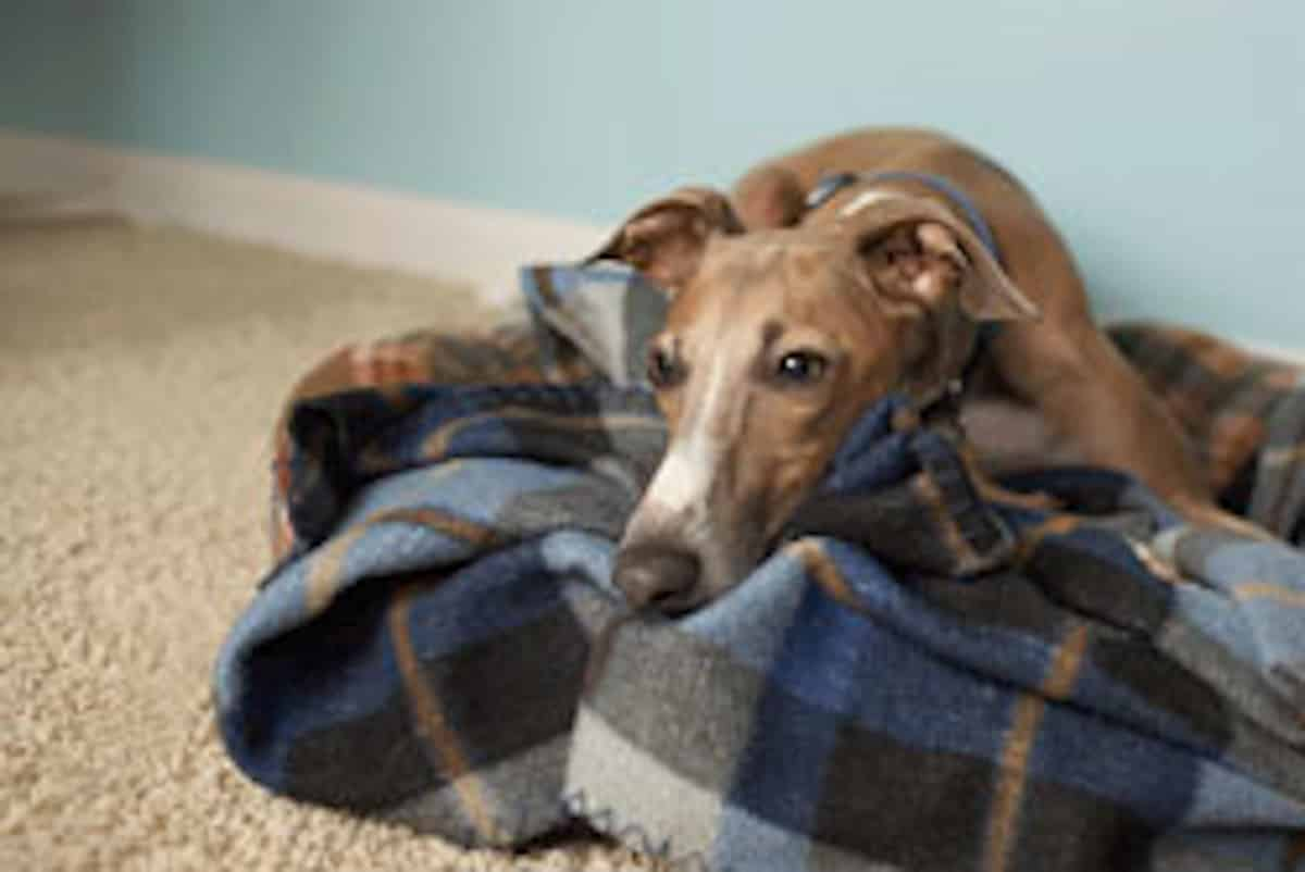 Cukorbetegség háziállatoknál kutyáknál macskánál