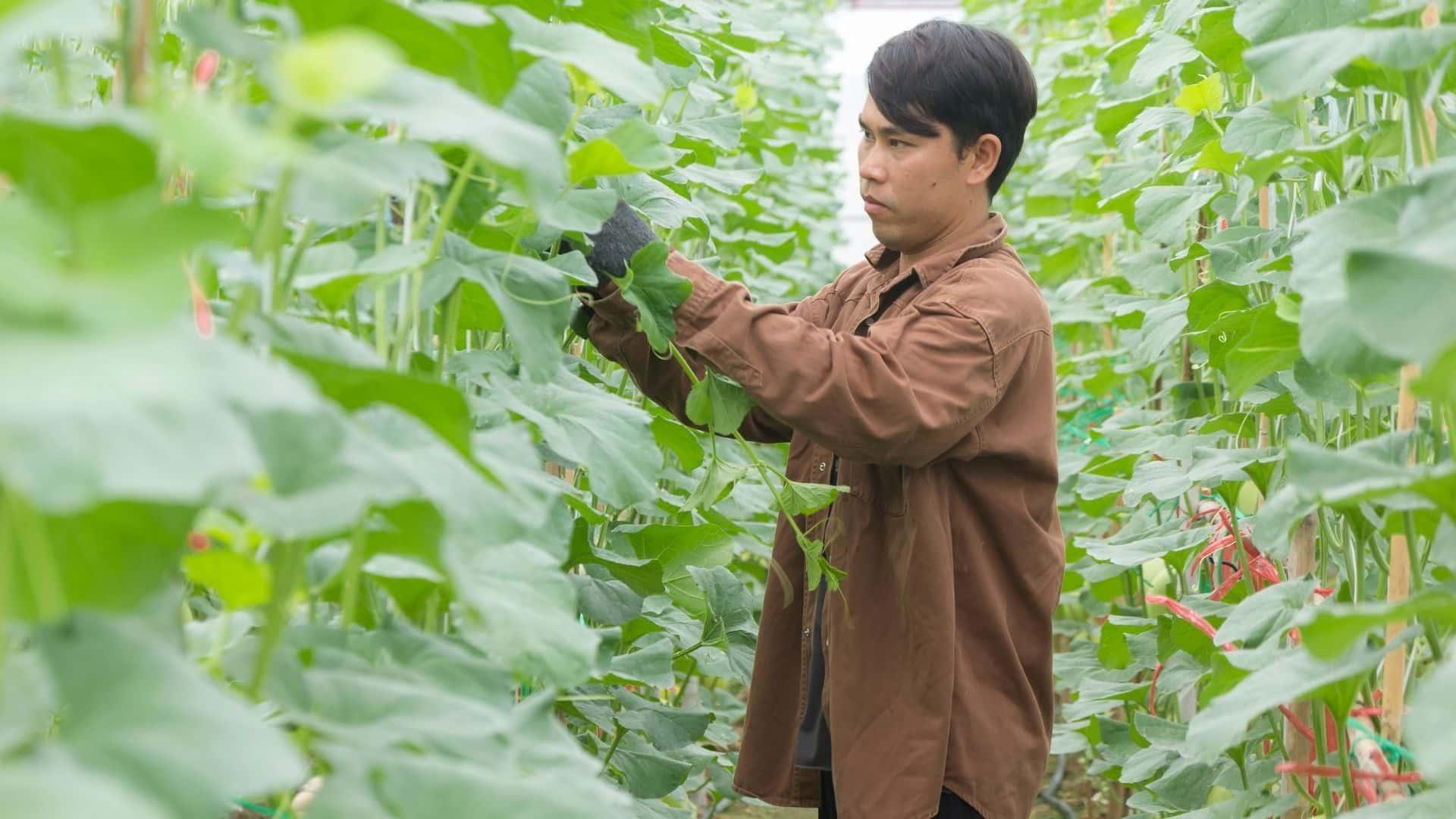 Tudta, hogy ugyanaz a növény, amely kávébabot termel, remek szobanövényt is készít? A szobanövények közül a legkönnyebb és legkeményebbnek tartott kávéfőző növény kiváló mind tapasztalt, mind kezdő kertészek számára. Nemcsak a kávé fa növények gondozása egyszerű, de maga a növény is kedves, és csodálatosan kiegészíti az otthont.