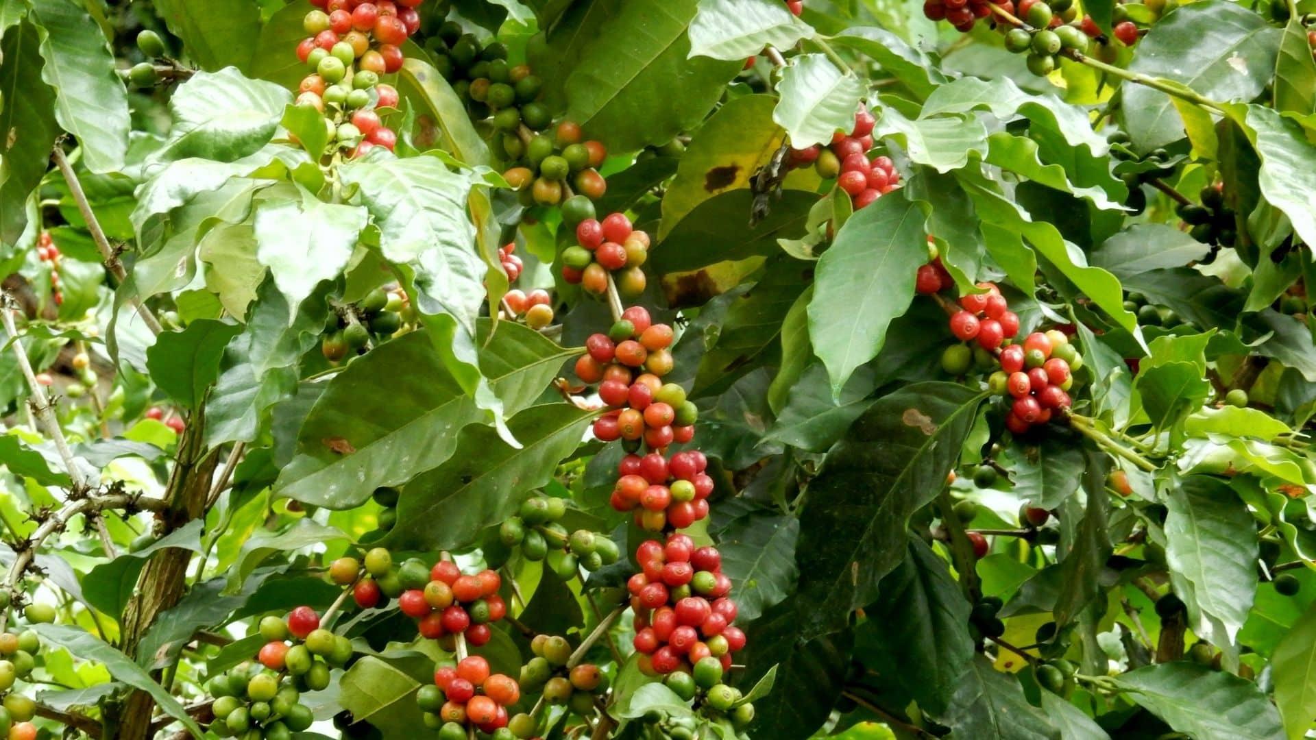 Szüksége lesz egy kávé növény otthoni termesztésére, tápanyagokban gazdag talajra, 15–26 C° közötti hőmérsékletre, 4-5 óra napfényre, nedves, de nem vízzel feltöltött talajra és türelemre.
