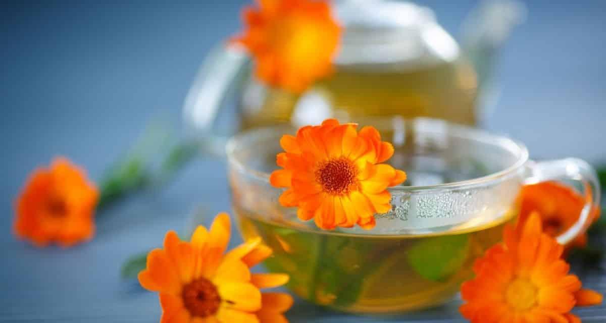 Mi is az a bíbor kasvirág tea és mit csinál? Az bíbor kasvirág tea, más néven amerikai kagyló, vadon termő gyógynövény, amely Észak-Amerika síkságain terem. Azt óta használják, mint egy hagyományos gyógynövény, mivel a 18 th század egy sor feltételeket fájdalomcsillapítás a kígyómarás, és még a lépfene fertőzés. 1,2 Manapság az kasvirág teát általában a megfázás és az influenza tüneteinek enyhítésére használják, és segíthet a kis bőr sebek gyógyításában is.
