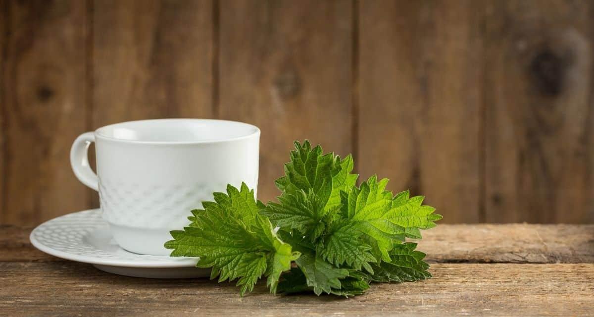 A csalán növény, amely leginkább levelének szúrásáról ismert. Ennek a növénynek a csalán tea jótékony hatásai a vizeletáramlás javítására, az ízületek duzzadásának megkönnyítésére és a vércukorszint-szabályozás elősegítésére használták.