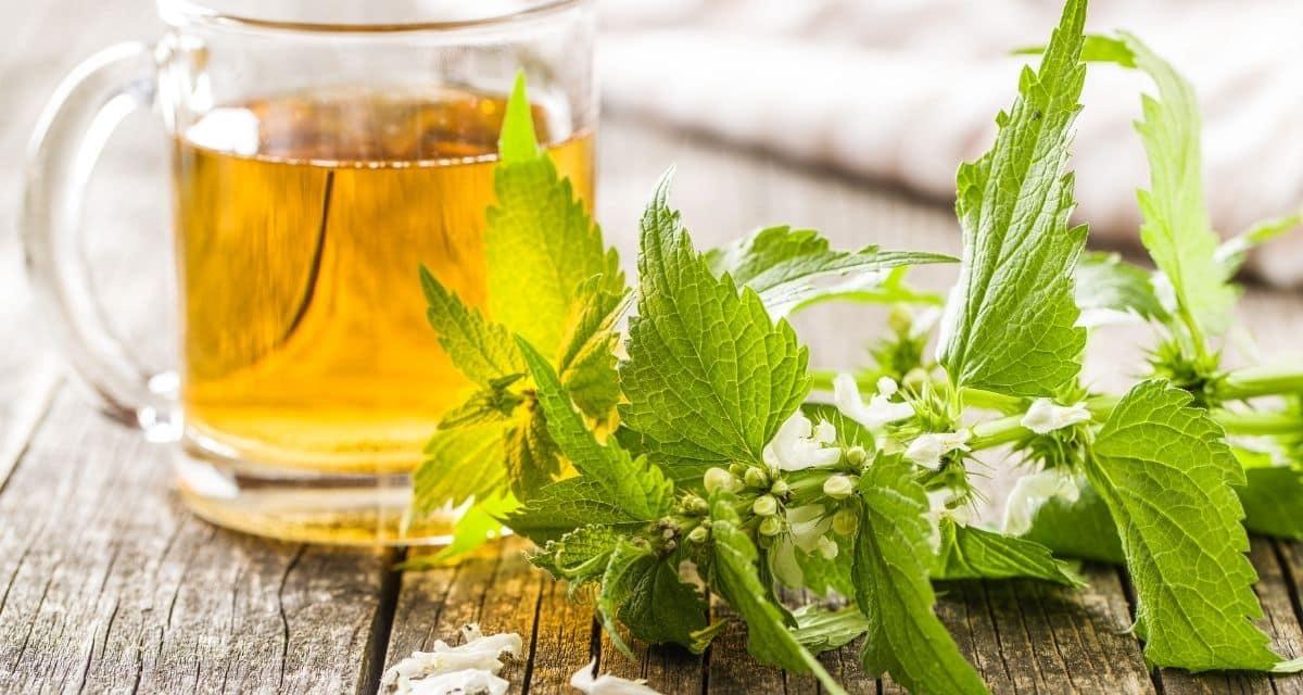 A csalán tea a tavasz természetes elixírje. Az egyik legkorábban tavasszal megjelenő zöld növény, a csalán könnyen teába főzhető, amelynek egészséges, helyreállító előnyei vannak, amelyek fokozzák az immunrendszert és felébresztik a testet a tavaszra.