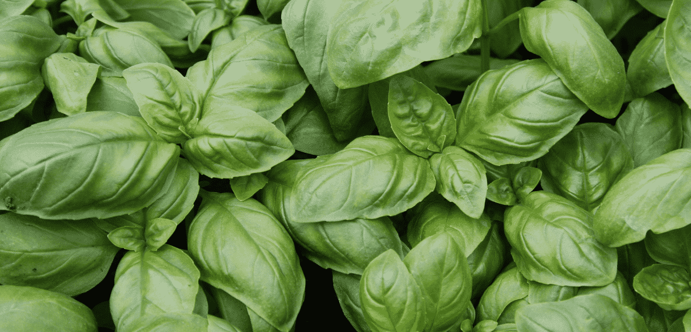 Bazsalikom termesztése és története és használata